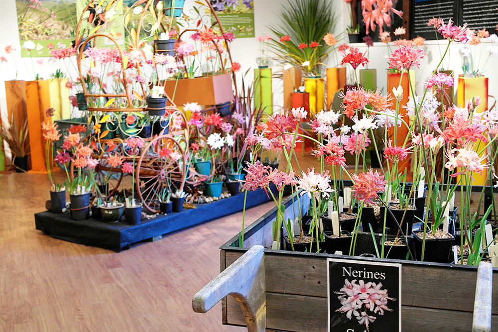 Exbury's fantastic collection of Nerine sarniensis in the Five Arrows Gallery