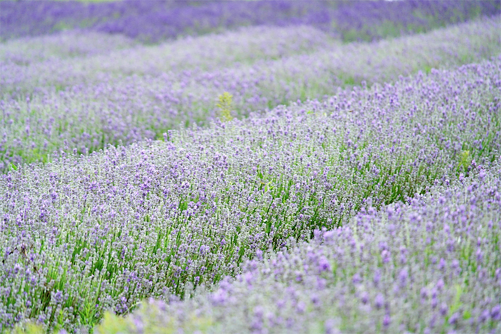 Hitchin Lavender Farm, Herts.