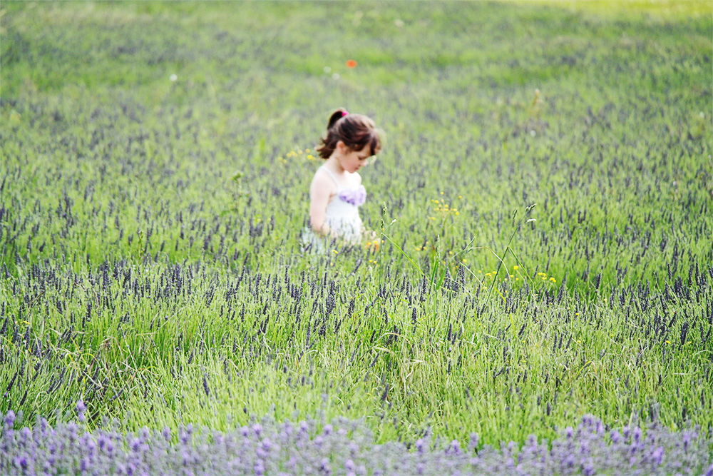 Walking in lavender