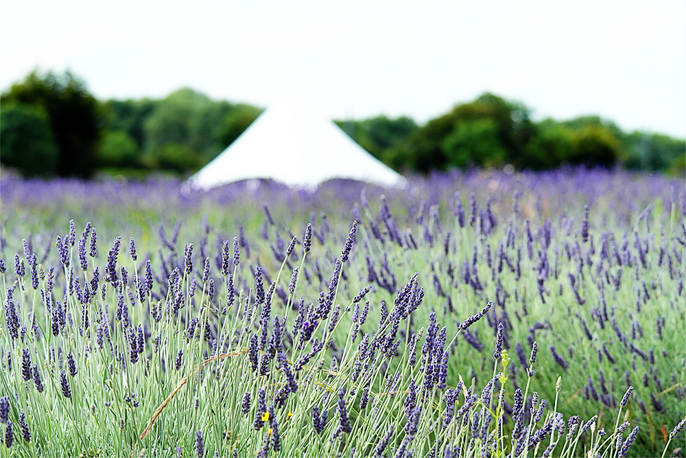 Hitchin Lavender Farm, Herts