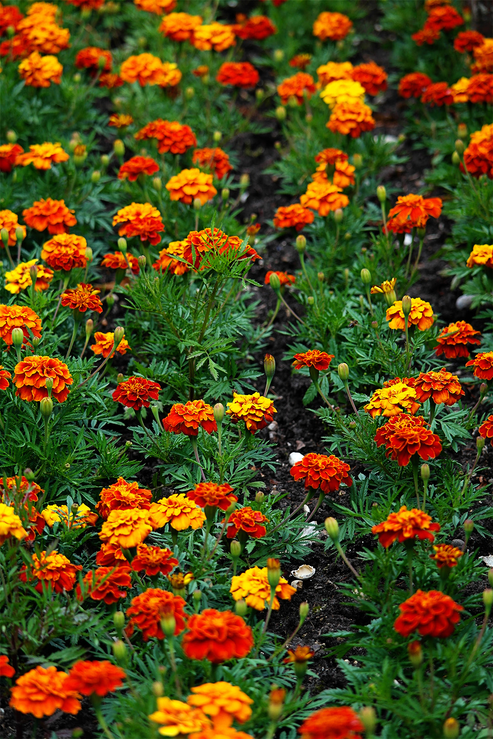 Rows of Marigolds