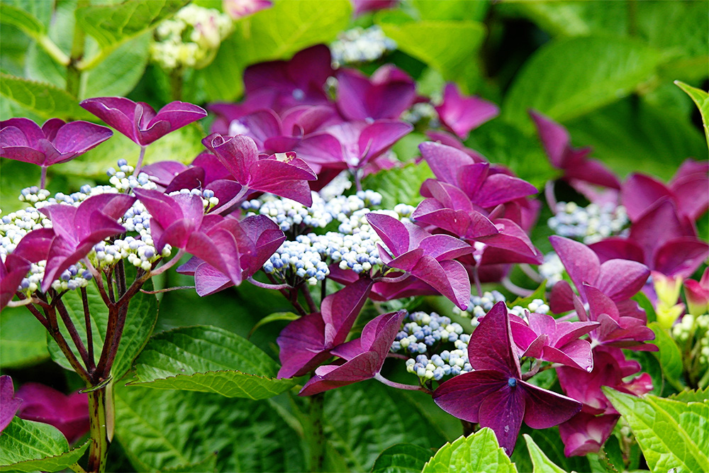 Purple hydrangeas starting to bloom