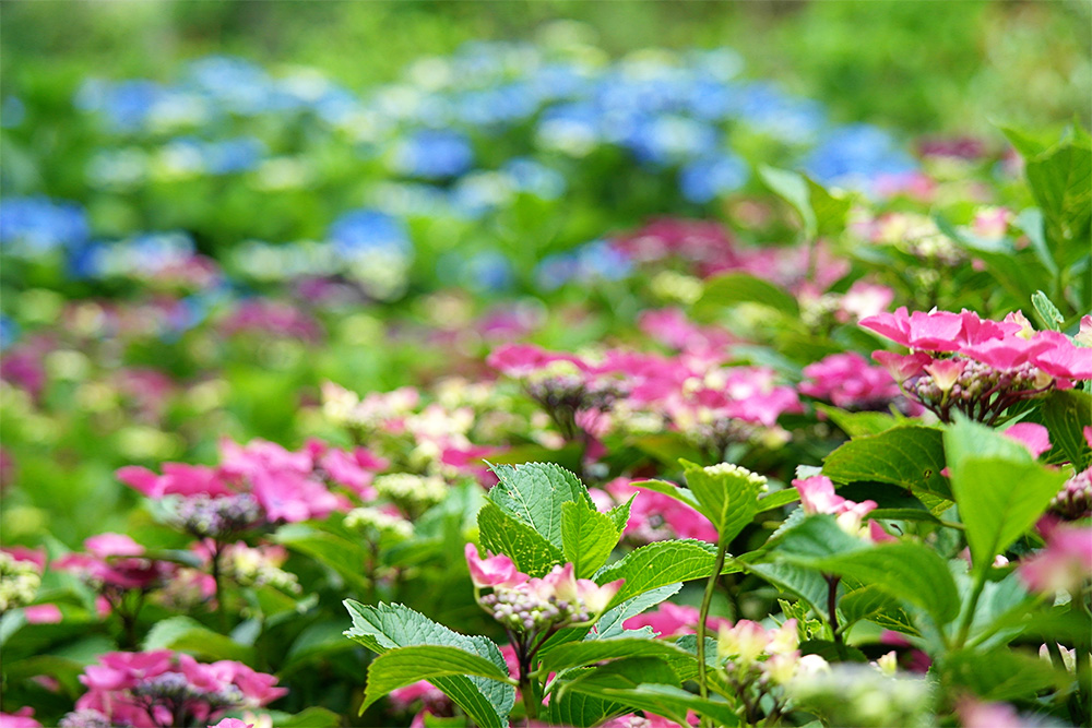 A multi-colour hydrangea carpet
