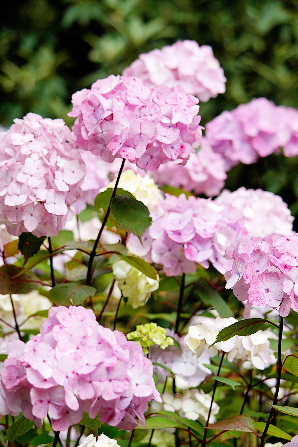 These pink hydrangeas remind me of candyfloss