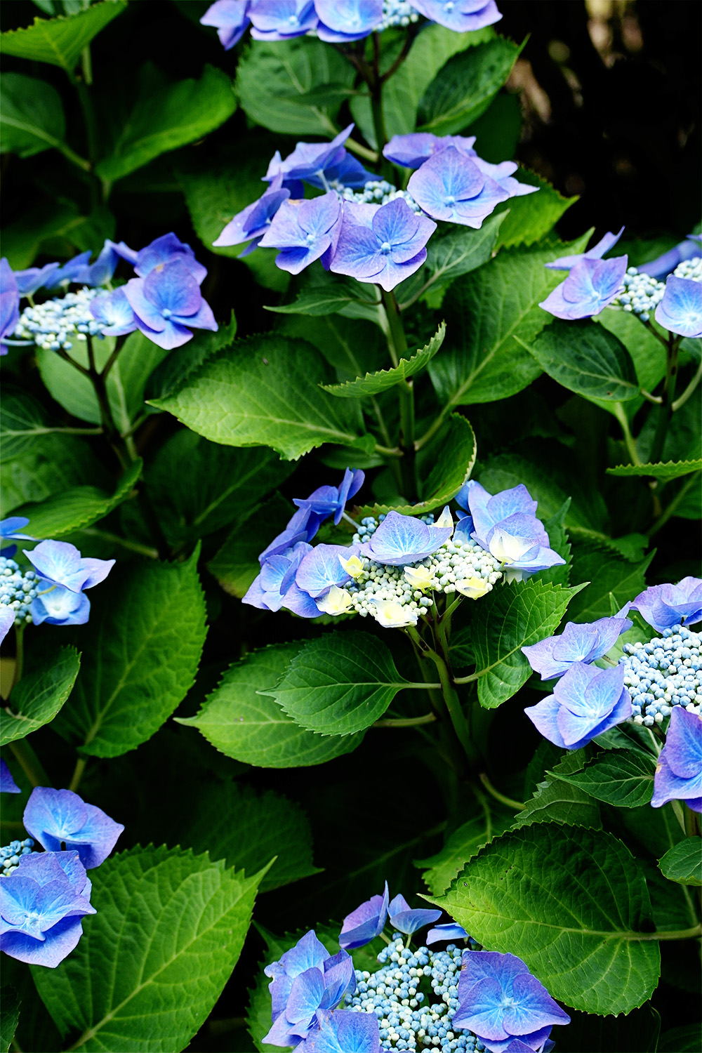 Blue has to be my favourite colour hydrangea