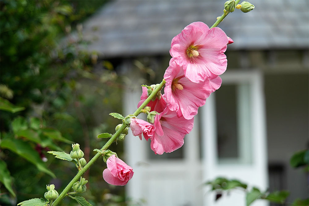 Hollyhock & Summerhouse