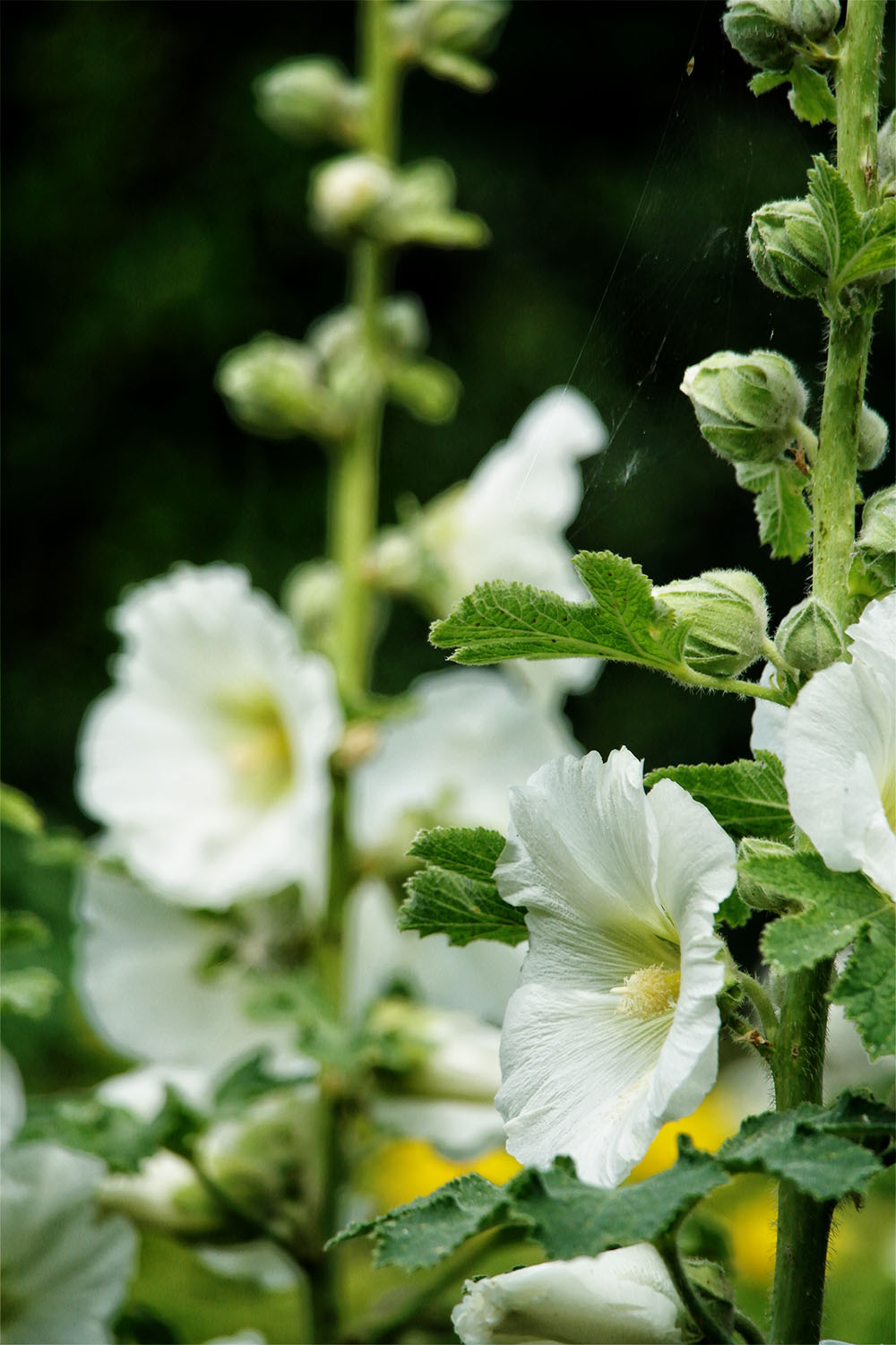 More white Hollyhocks - for me one of the quintessential English Country Garden blooms