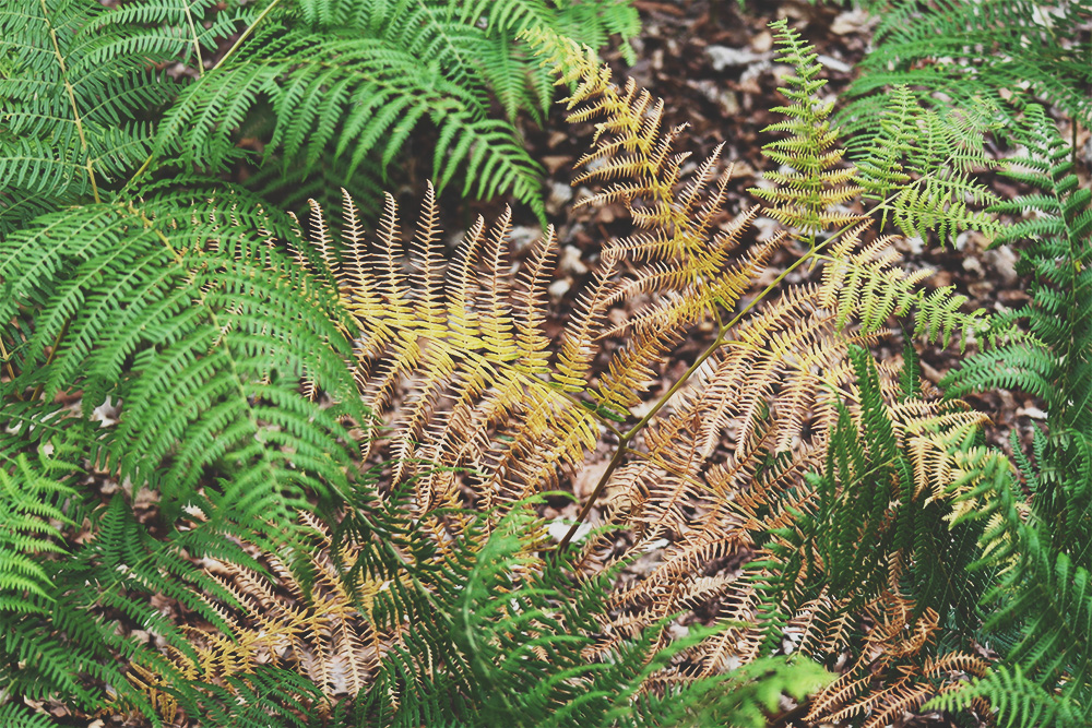 Ferns turning colour