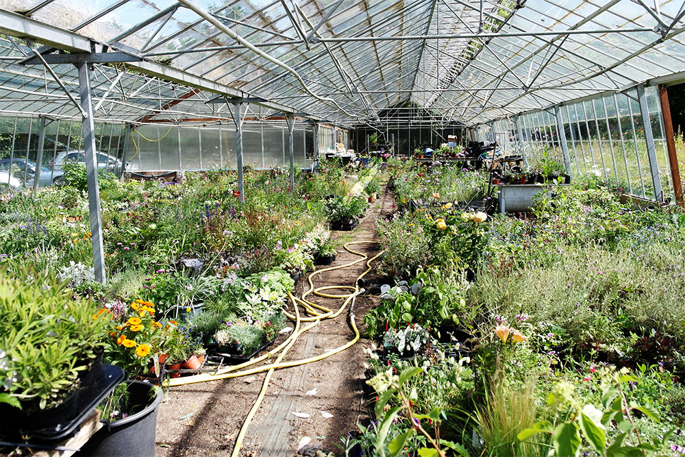 New Forest Lavender nursery - A stealthy photo from inside the 'do not enter' greenhouse