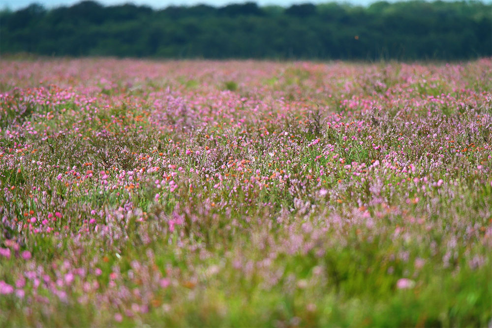 New Forest Heather at Crockford Clump
