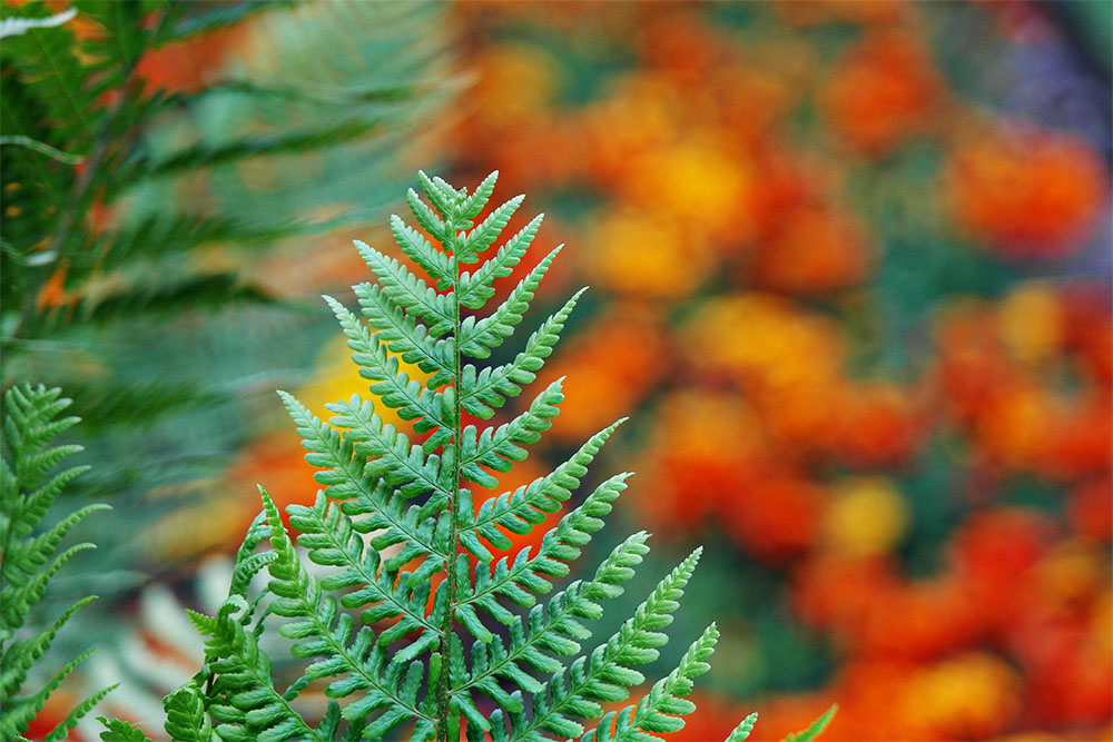 Ferns and marigolds