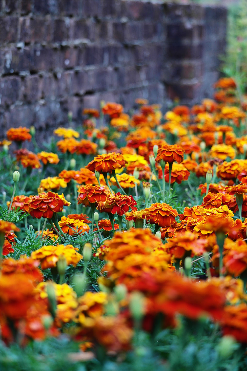 Rows of marigolds outside the greenhouse