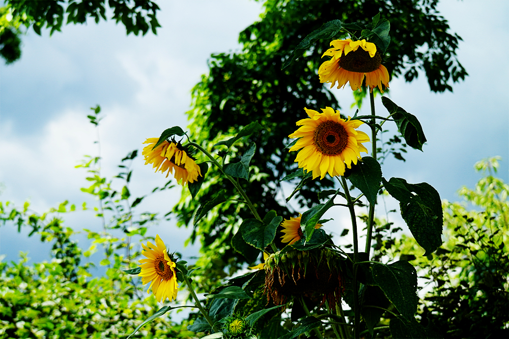 Sunflowers at RHS Wisley