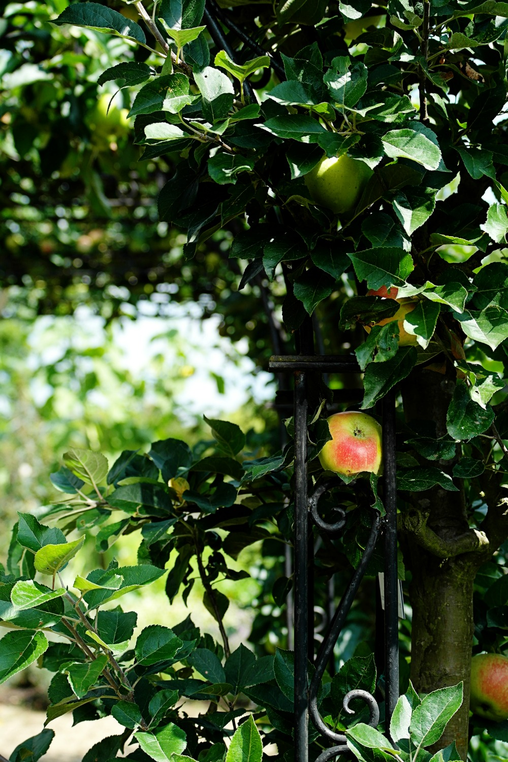 Apples tree trained to an arch