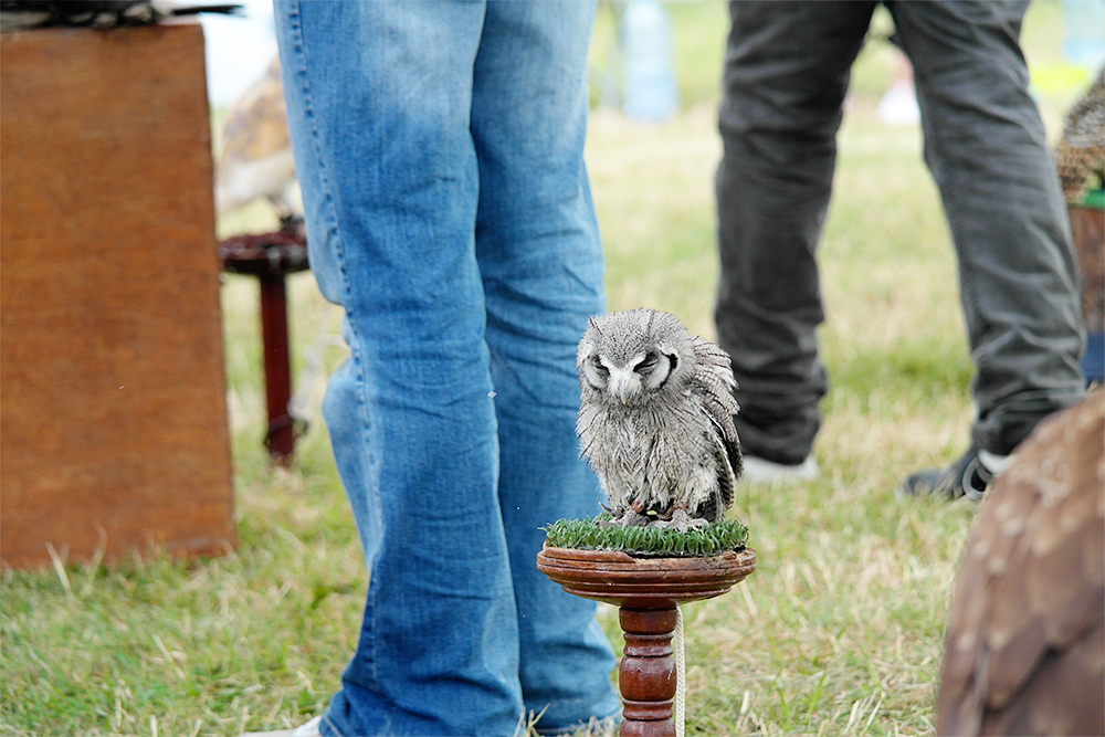 Haven Falconry at Camp Bestival 2014