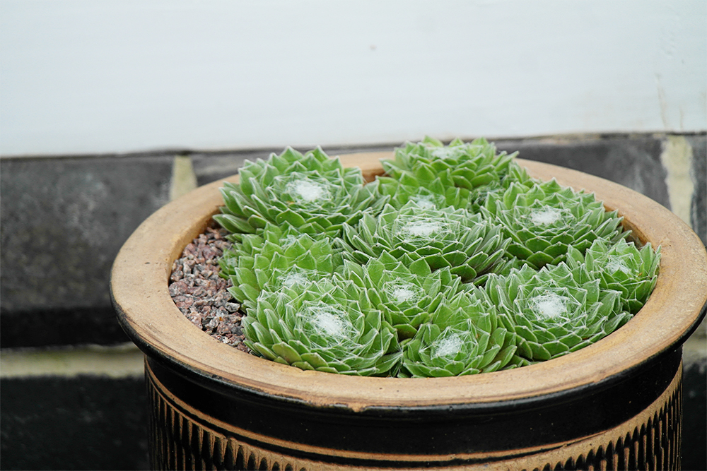 Also shown at the top of the page, Sempervivum arachnoideum looks as though spiders have spun webs across it