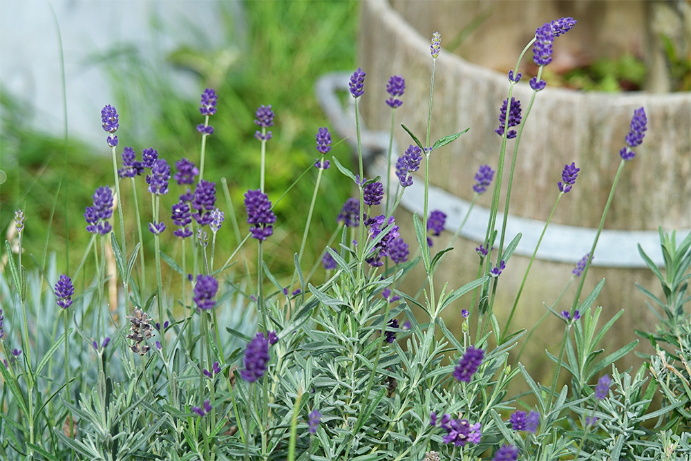 The bargain lavender grows on...