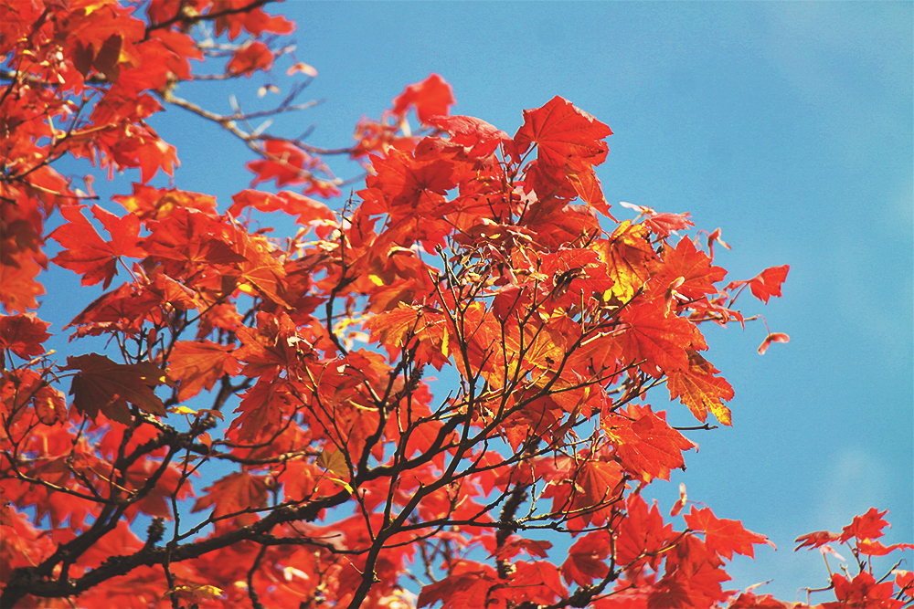 Flaming Autumnal leaves