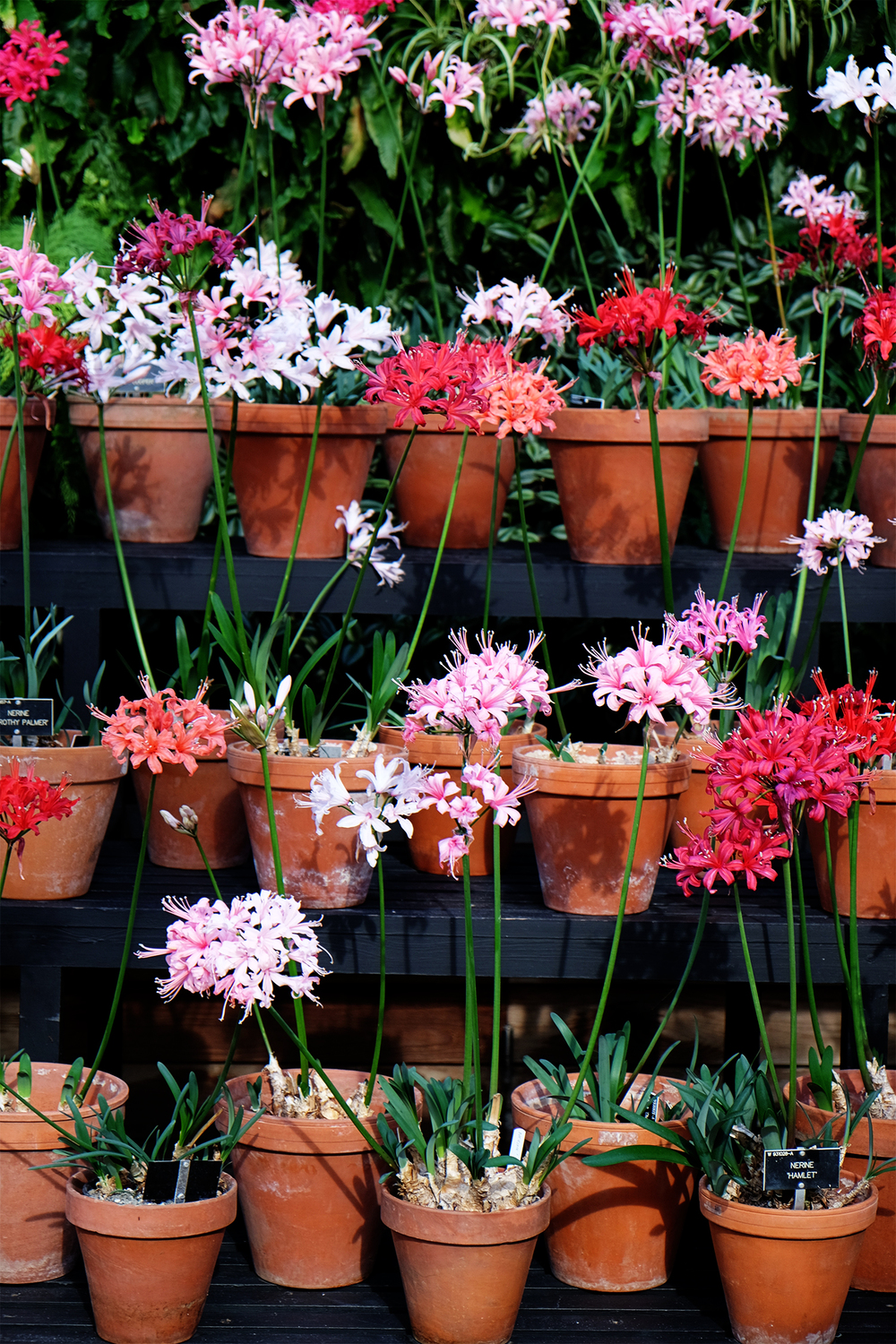 Nerine display in the Glasshouse, RHS Wisley