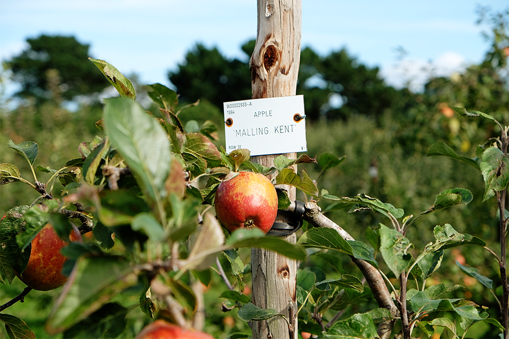 Apples in the RHS Wisley Orchard