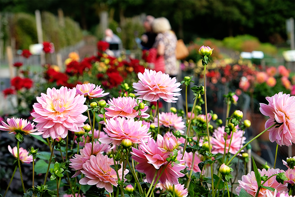 Dahlias in the Trails Field, RHS Wisley