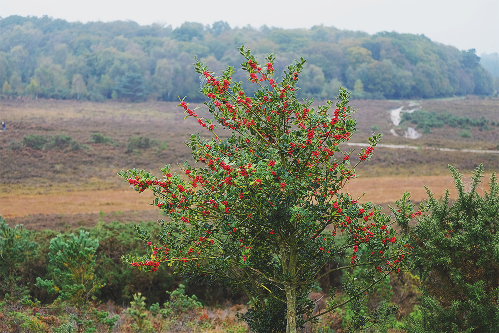 Holly tree, Marchwood Inclosure