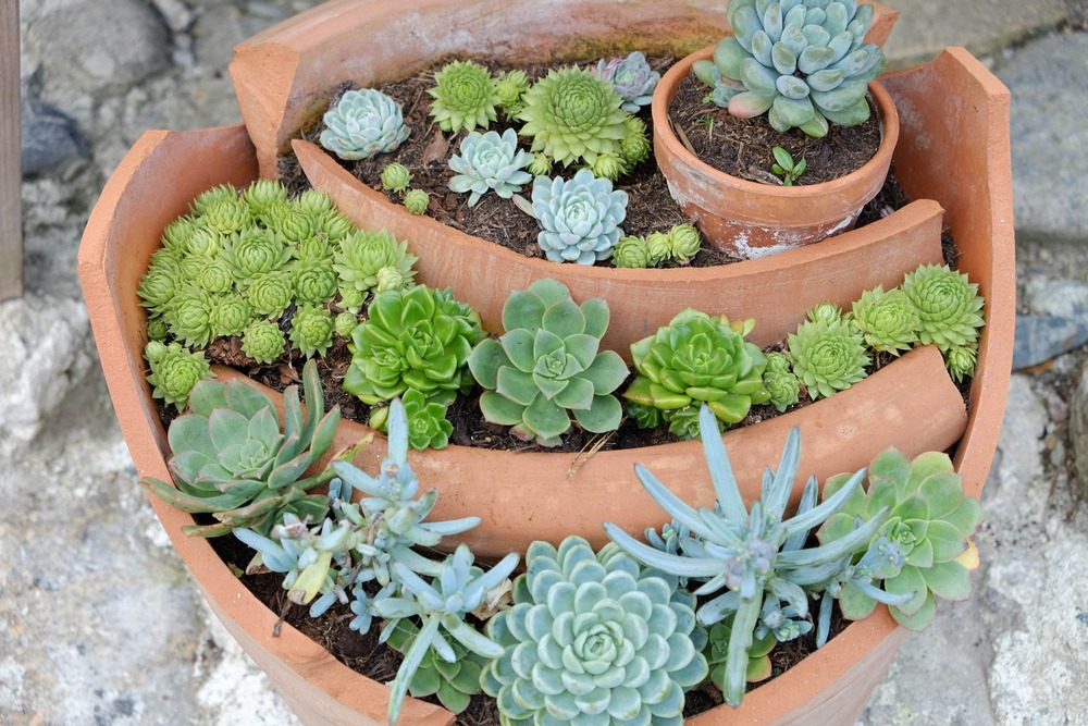 Succulents at St Michael's Mount, Cornwall