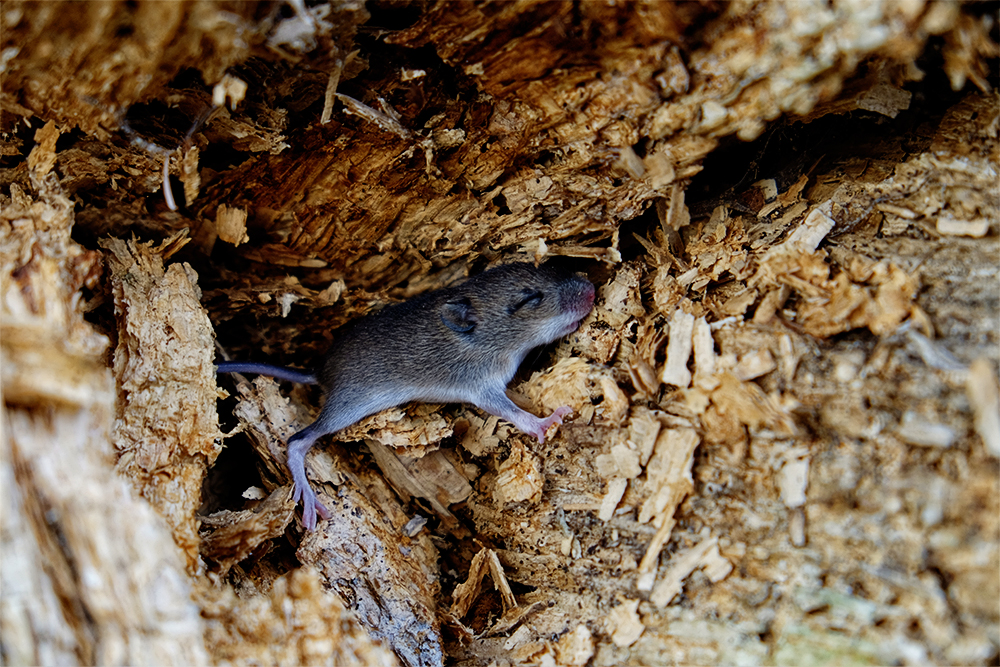 Above: Baby mouse in an old tree stump
