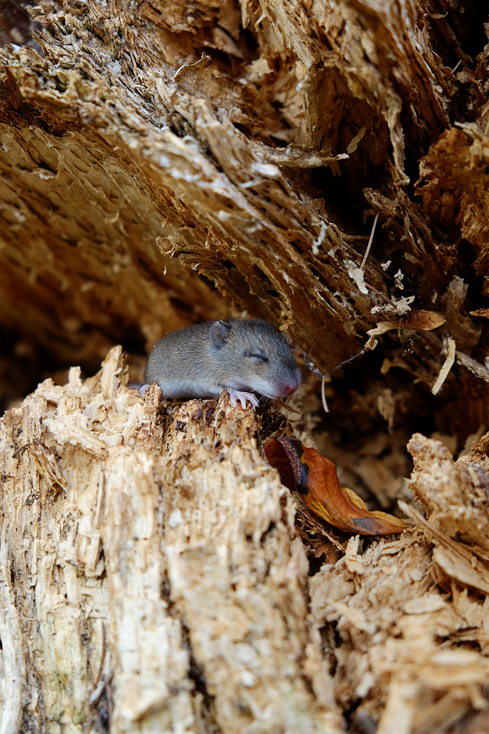 Above: Tiny baby mouse, his eyes hadn't opened