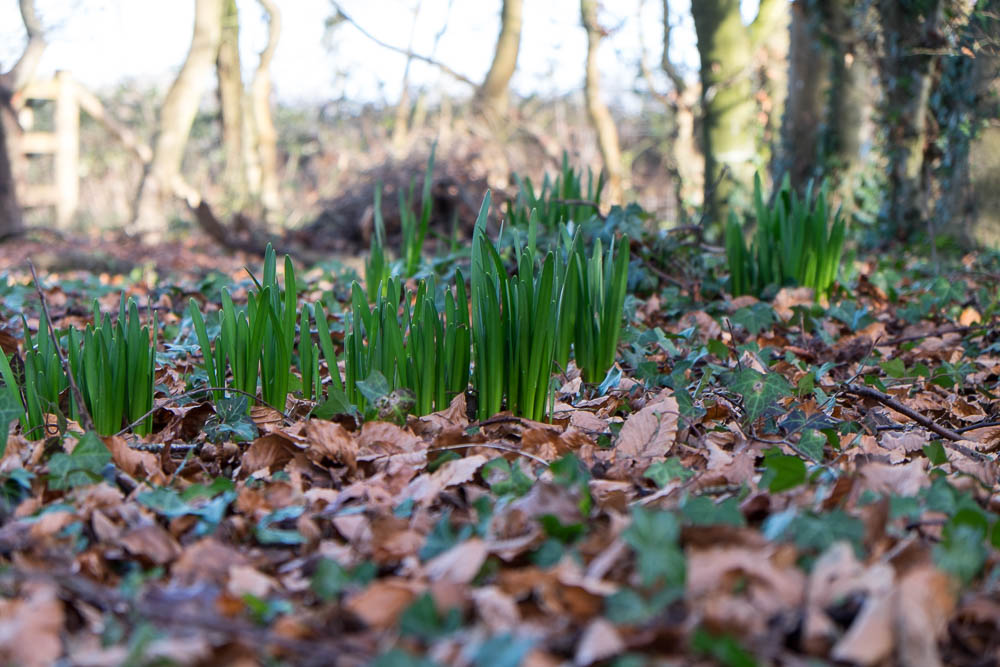 Daffodils appearing