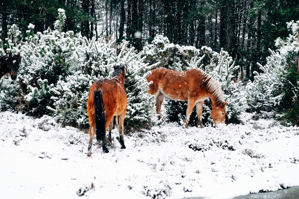 New Forest ponies enjoying the snow