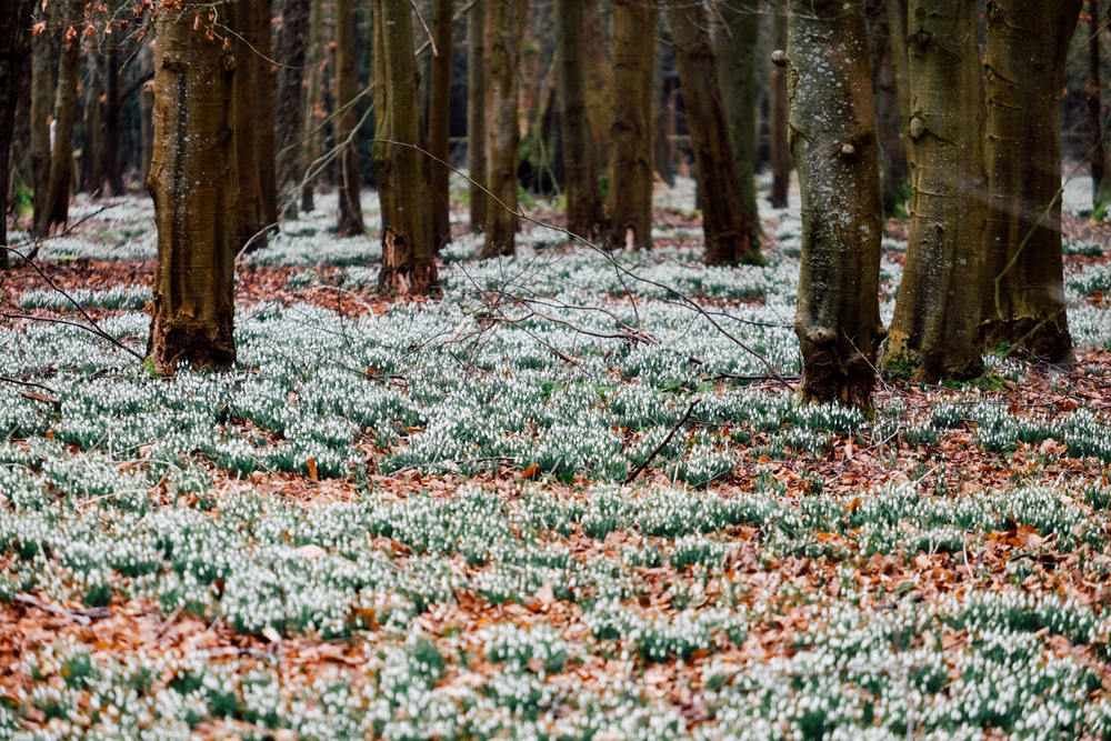 Snowdrop Woods at Welford Park, Newbury