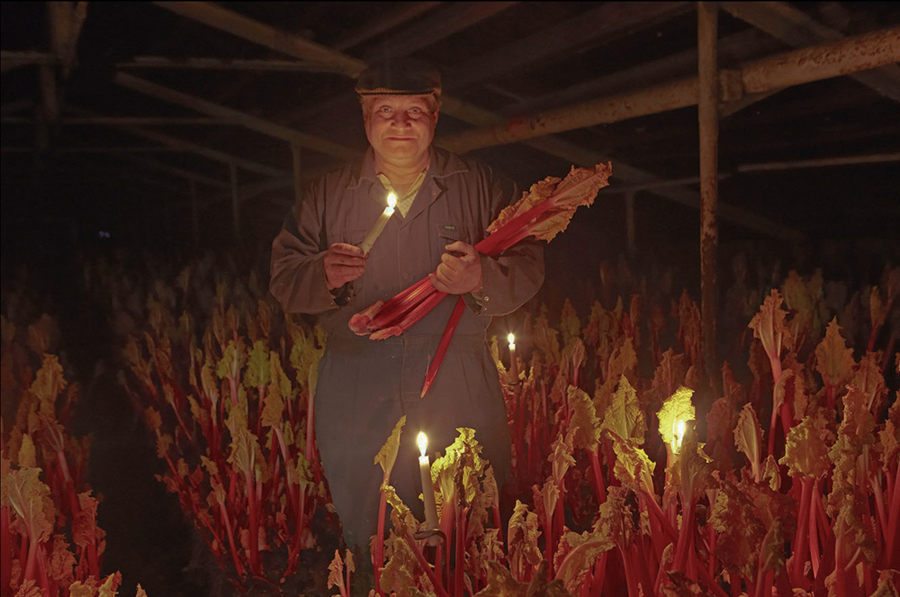 Yorkshire farmer, Jonathan Westwood, stands amongst candle-lit rows of  rhubarb stalks, ahead their journey to Waitrose branches nationwide.