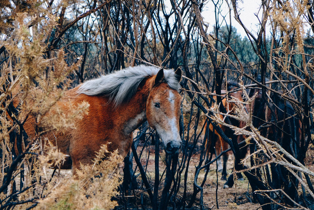 Pony in burnt gorse in the New Forest