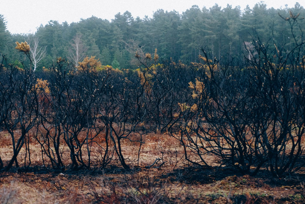 Burning Gorse in the New Forest