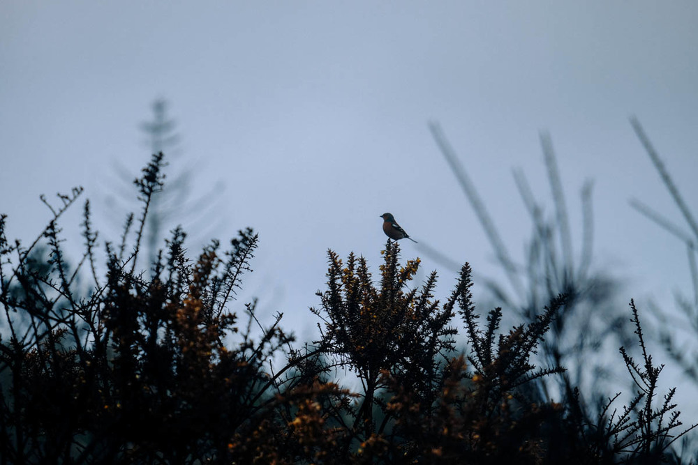 Bird on burnt gorse, New Forest