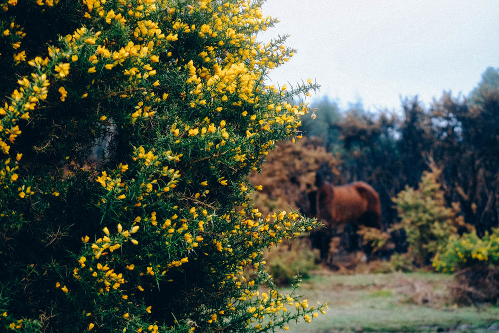 Gorse in the New Forest