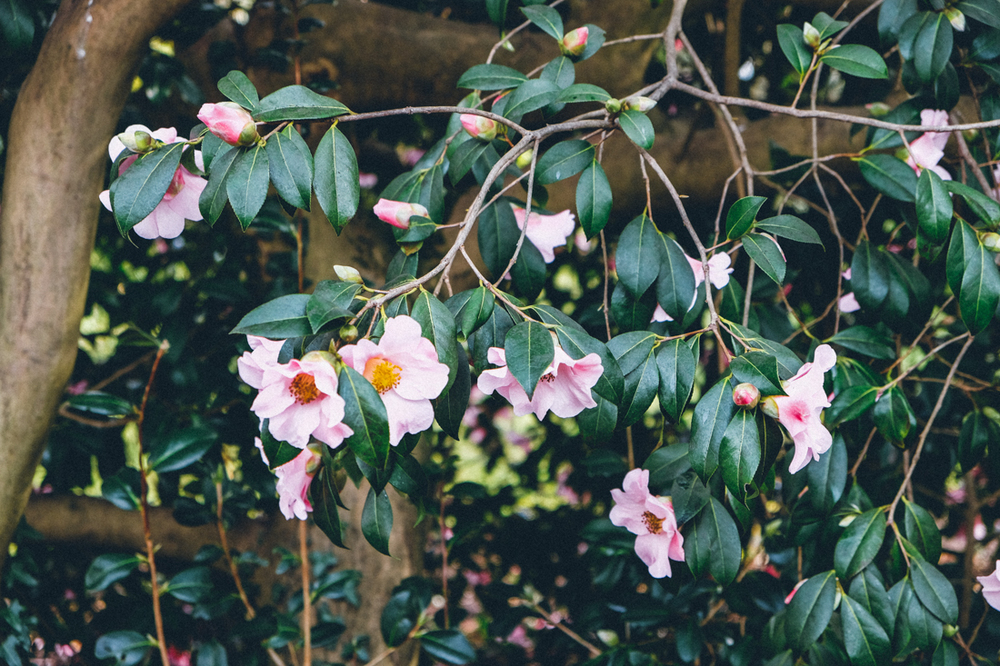 Camellia at  SIR HAROLD HILLIER GARDENS IN MARCH