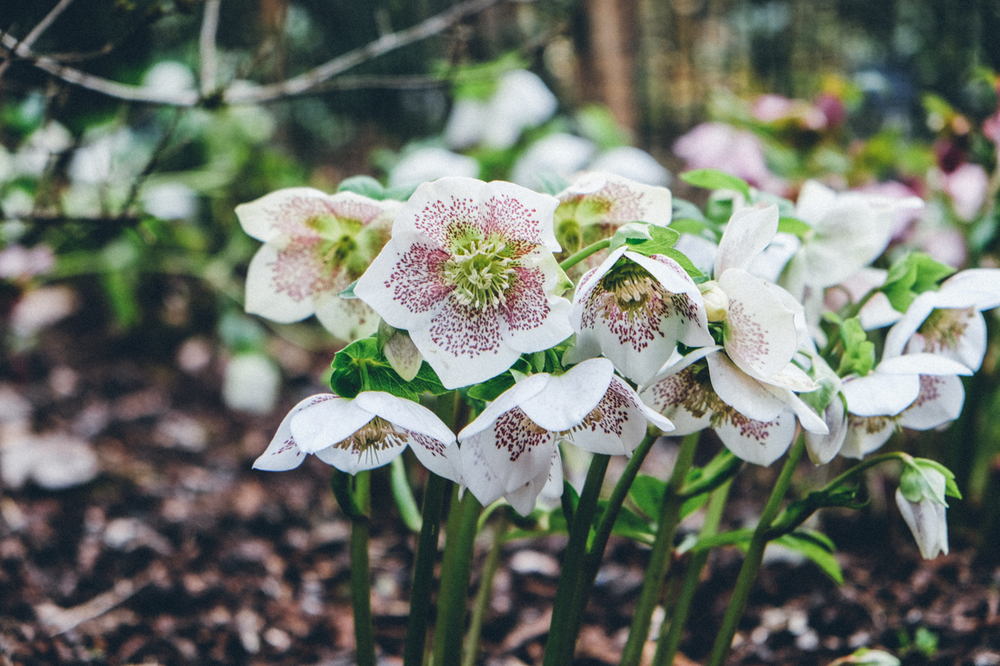 Hellebores   AT   SIR HAROLD HILLIER GARDENS IN MARCH