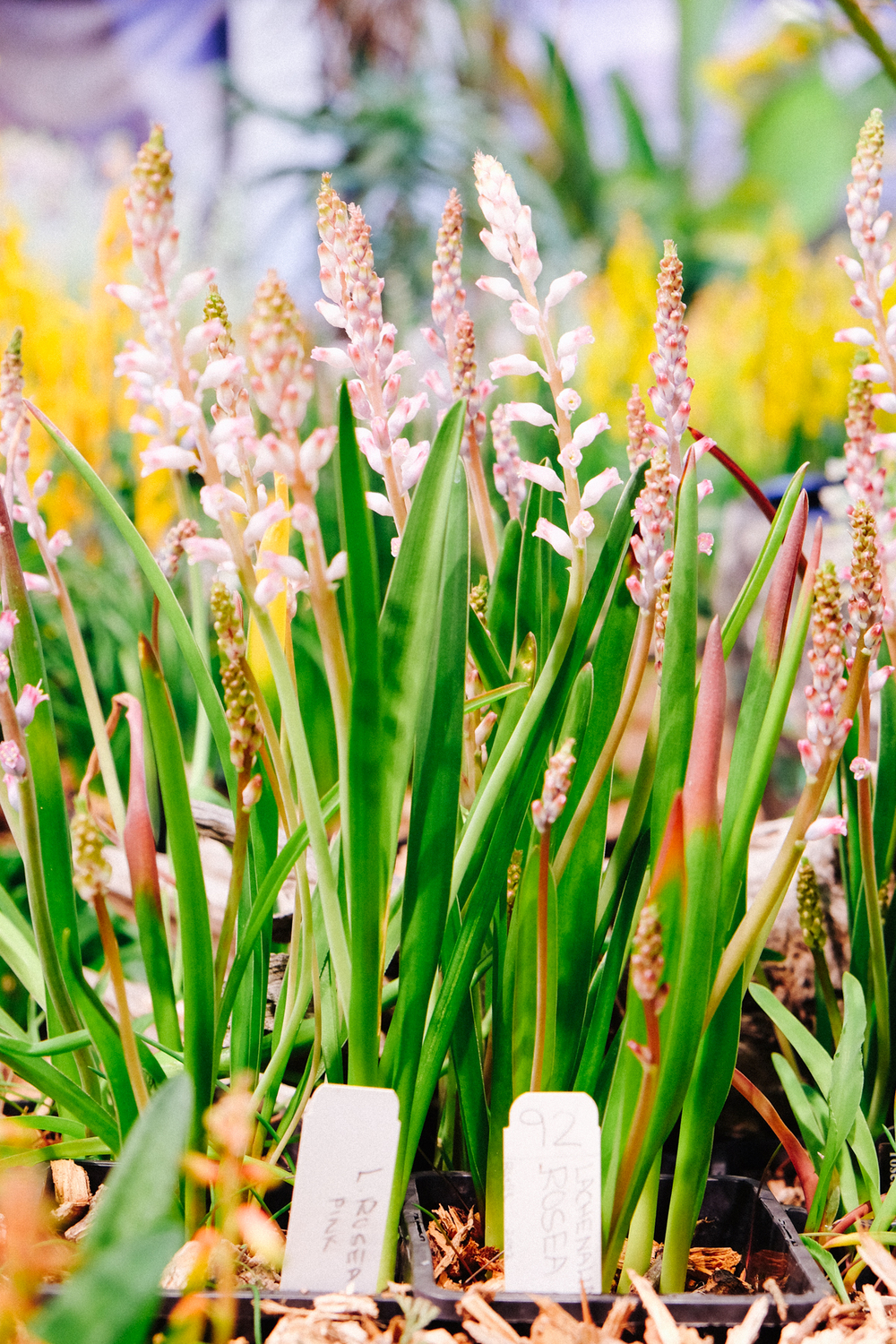 Lachenalia display at Exbury Gardens
