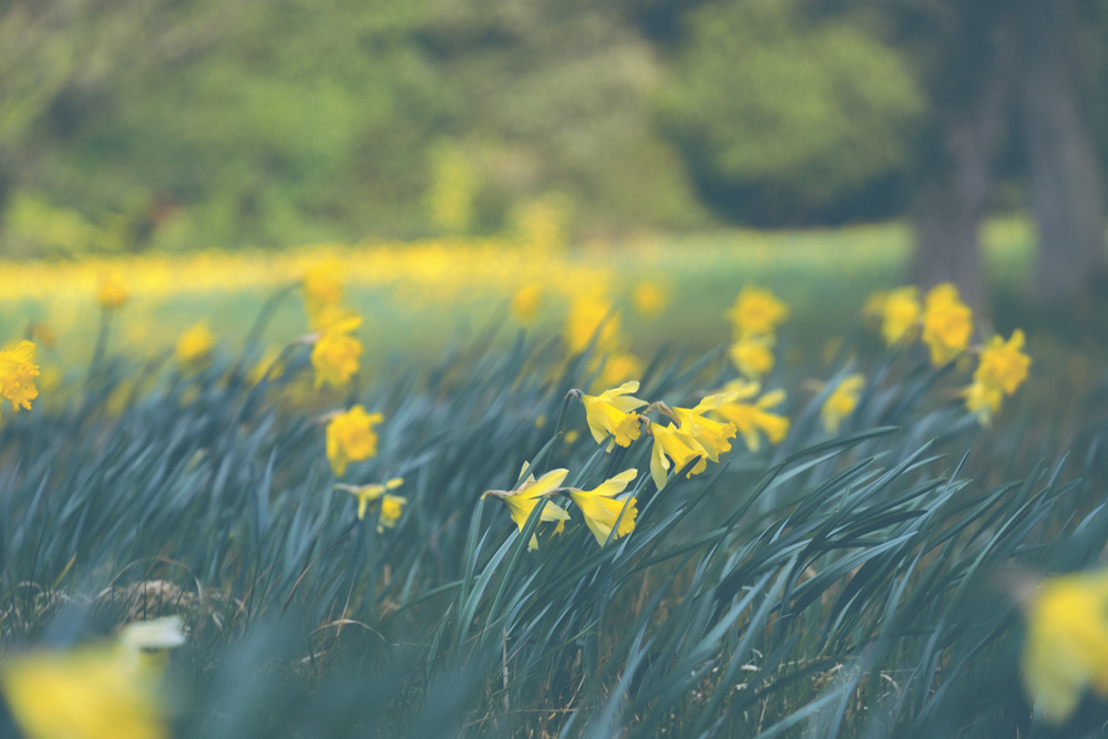 Daffodil Field at Exbury Gardens