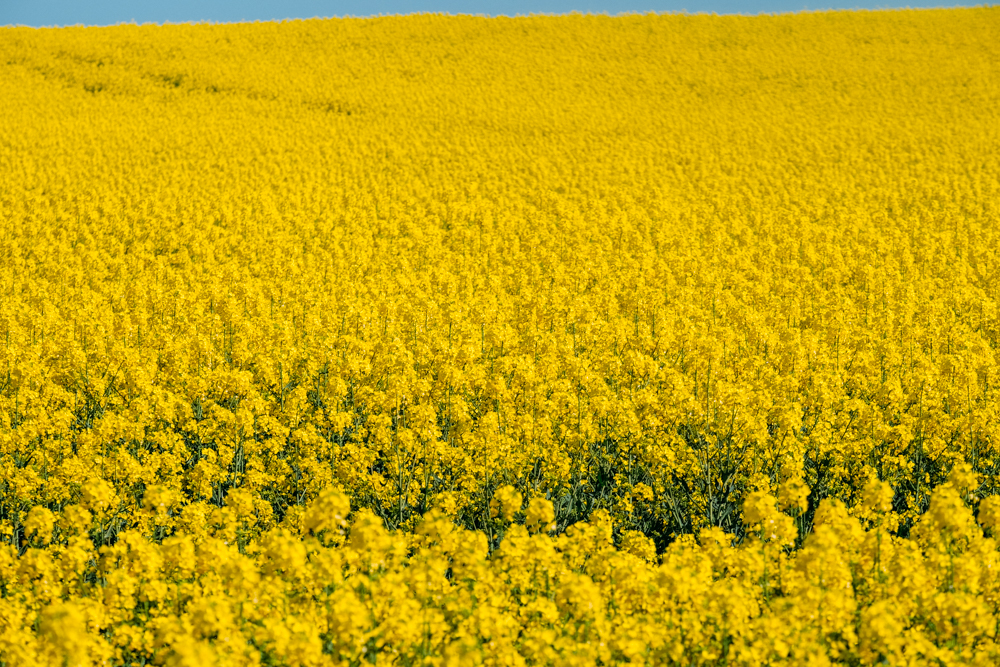 Gold fields, Rapeseed fields