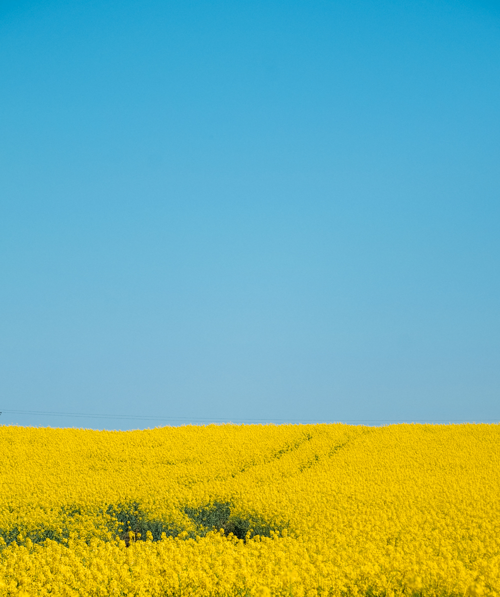 Gold rapeseed field & blue sky