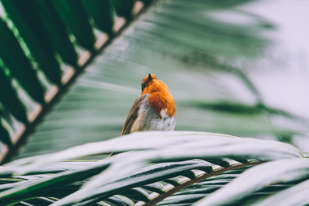 Little Robin Redbreast - I like this shot of him in the glasshouse as the leaves he's perched on remind me of Claudia's garden photos from Miami.