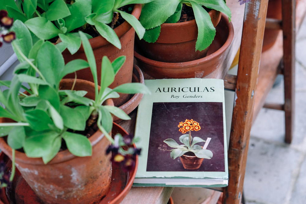 the beginnings of an Auricula theatre
