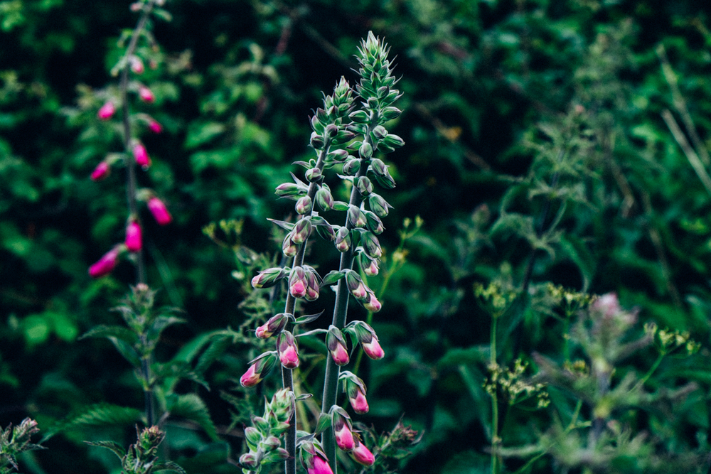 common foxglove / Digitalis purpurea