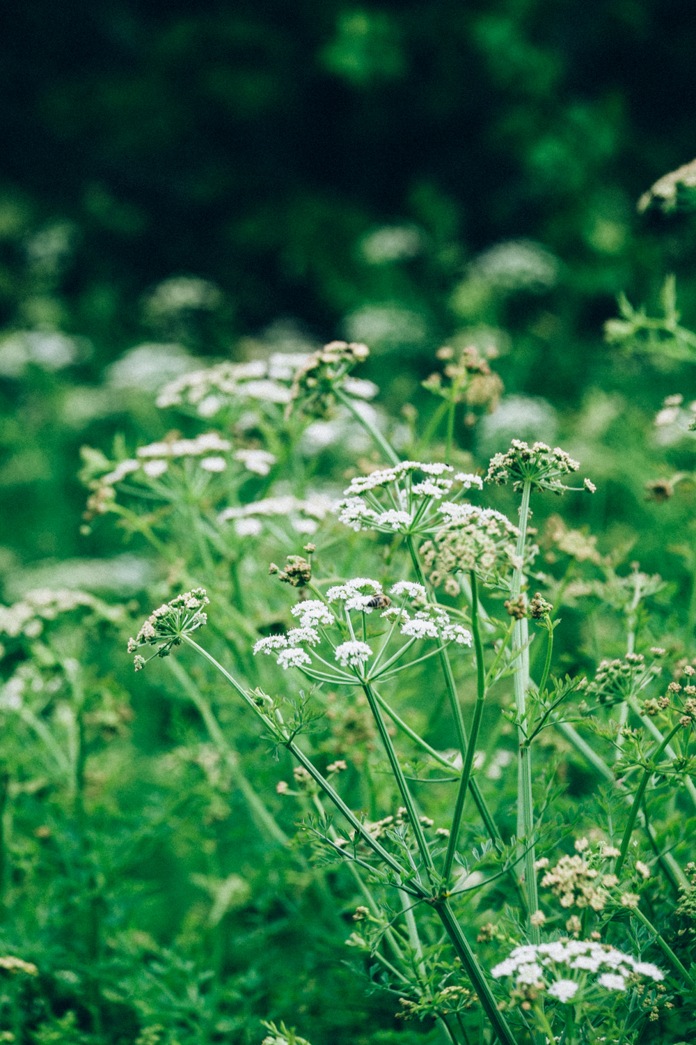 Cow Parsley / Anthriscus sylvestris / Wildflowers