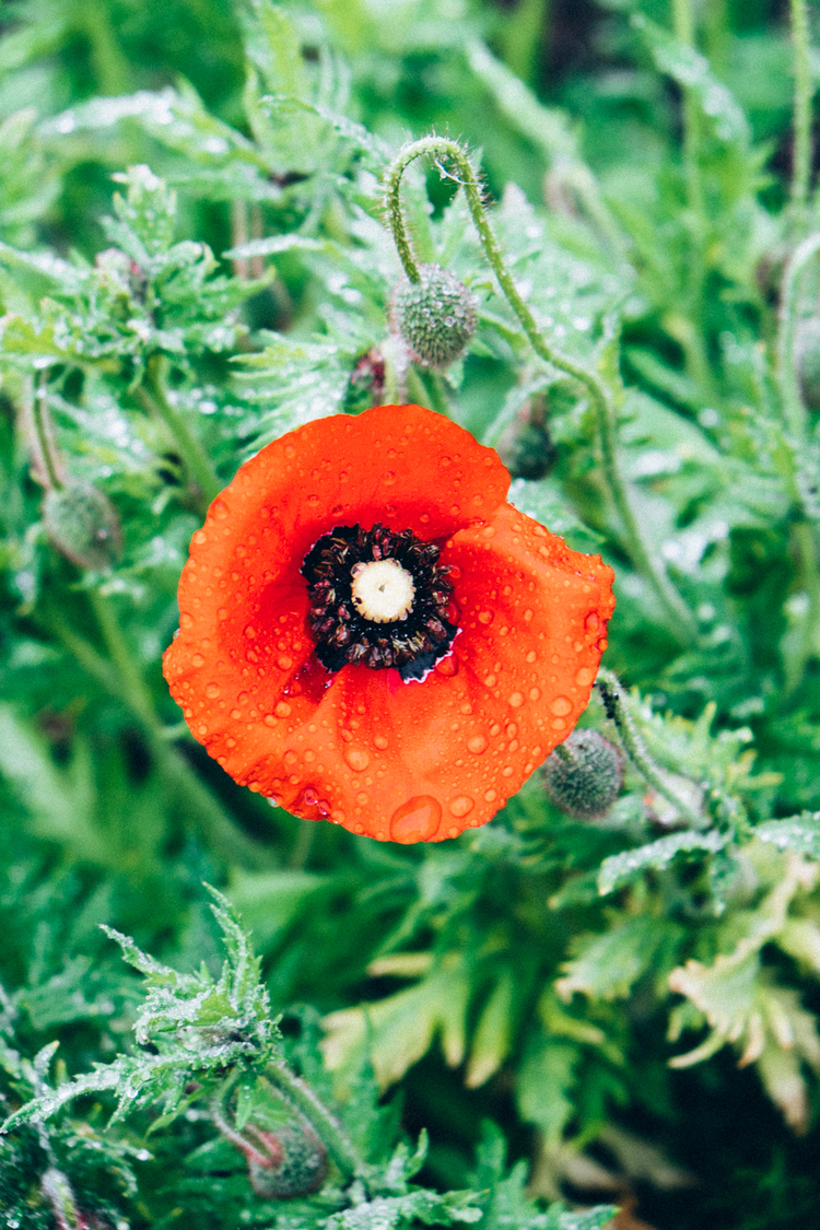 common poppy / Papaver rhoeas / wildflower