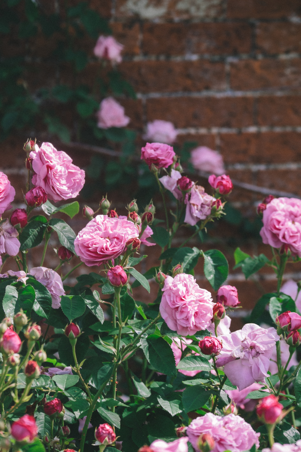Roses at the Walled Garden, Mottisfont