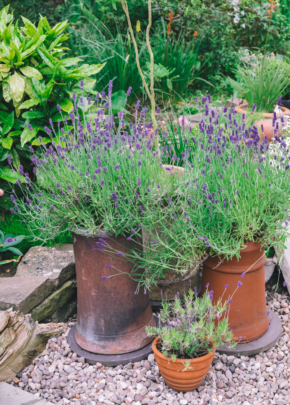 The difference between growing lavender in a deep pot and a shallow one